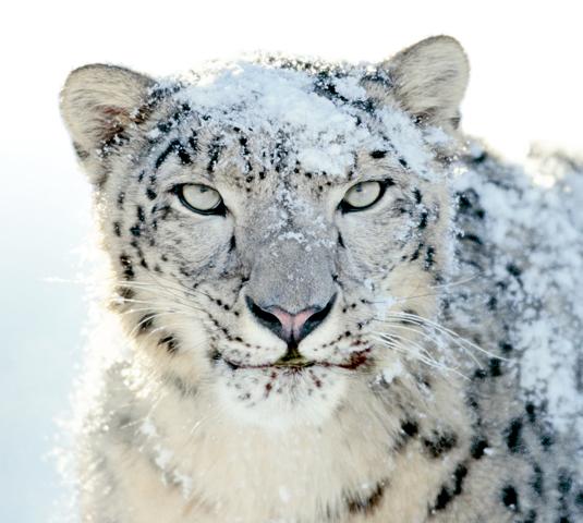 Red Leopard: version originale, celle de la version boîte