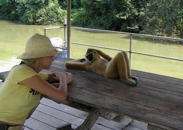 l homme descend du singe