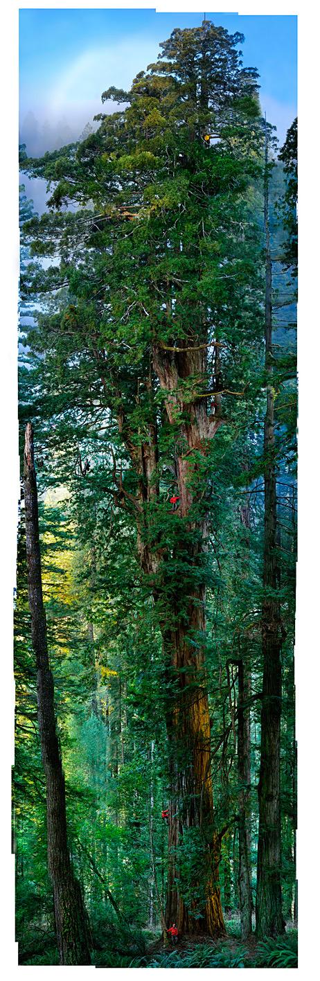 plus grand arbre au monde